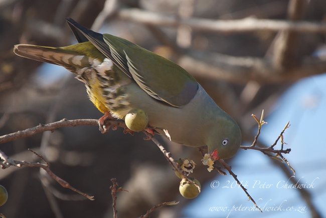 green pigeon feeding on jackalberry fruits by wildlife and conservation photographer Peter Chadwick