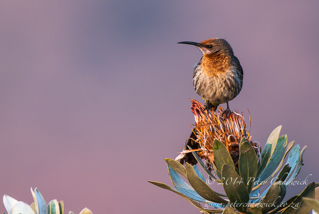 gurneys sugarbird on protea by wildlife and conservation photographer Peter Chadwickjpg