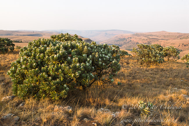 sugarbushes on lydenberg escarpment by wildlife and conservation photographer Peter Chadwick