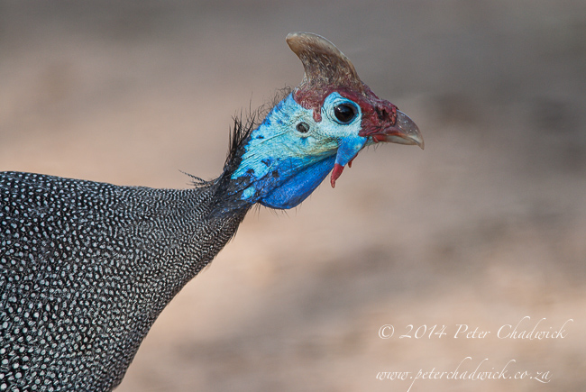 crowned guneafowl portrait by wildlife and conservation photographer Peter Chadwick