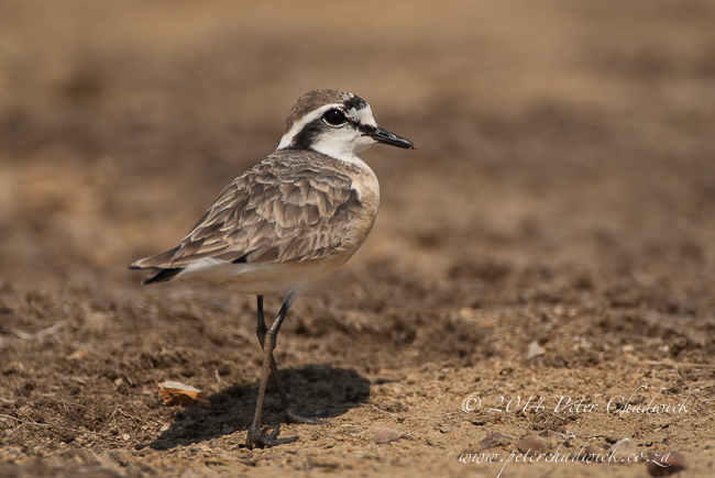 kitlitz plover by wildlife and conservation photographer Peter Chadwick