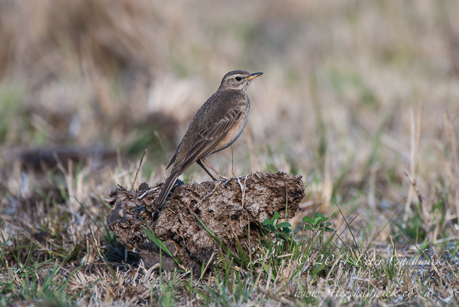plain backed pipit by wildlife and conservation photographer Peter Chadwick