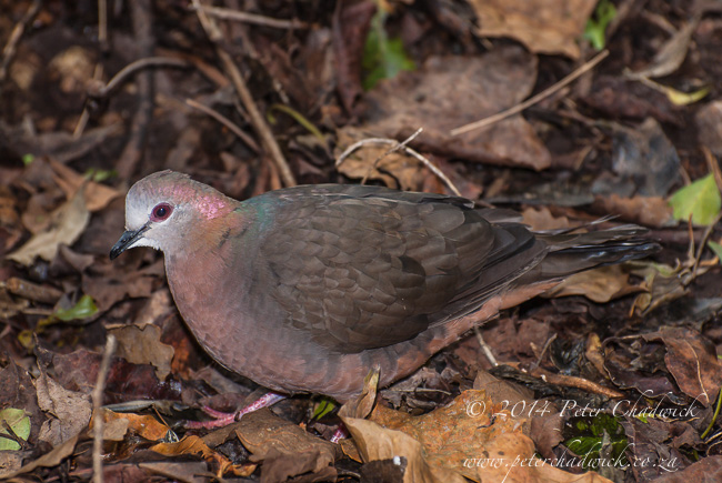 lemon dove amongst leaf litter by wildlife and conservation photographer Peter Chadwick