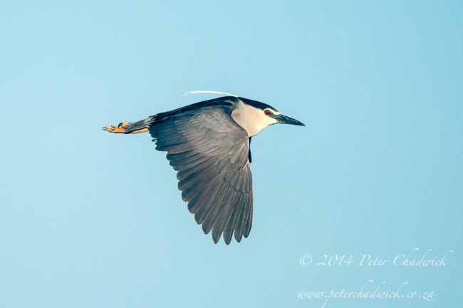 Black Crowned Night Heron by wildlife and conservation photographer Peter Chadwick