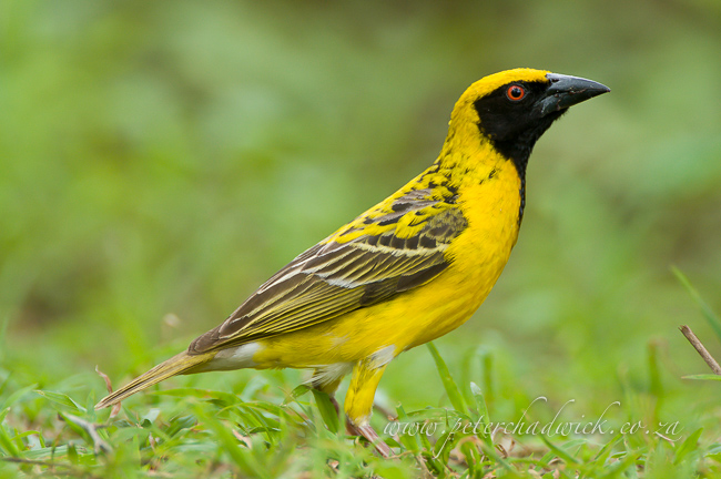 Village weaver ndumo by wildlife and conservation photographer Peter Chadwick