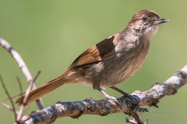 Terrestrial brownbul by wildlife and conservation photographer Peter Chadwick