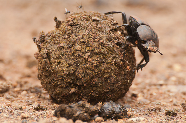 Dung beetle at ndumo by wildlife and conservation photographer Peter Chadwick