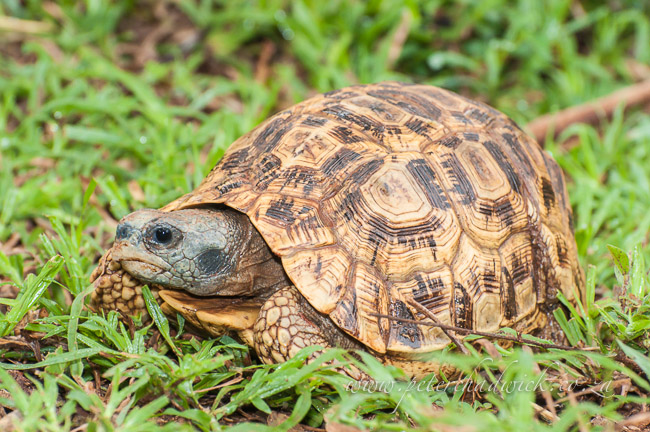 Spekes hinged tortoise by wildlife and conservation photographer Peter Chadwick
