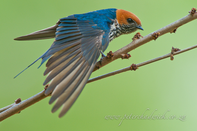 Lesser striped swallow wing stretching by wildlife and conservation photographer Peter Chadwick