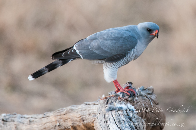 Gabar Goshawk by wildlife and conservation photographer Peter Chadwick