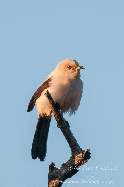 Pied Babbler by wildlife and conservation photographer Peter Chadwick