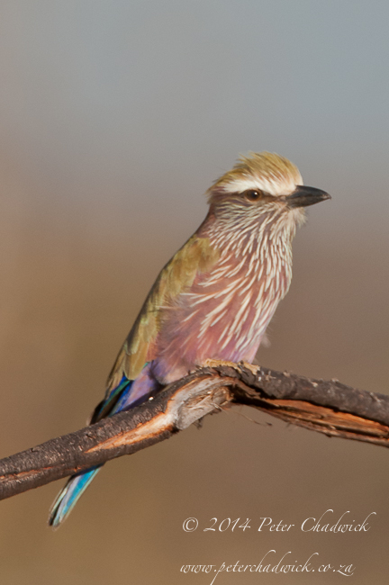 Purple Roller by wildlife and conservation photographer Peter Chadwick