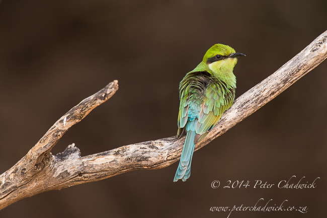 Juvenile Swallow-Tailed bee-eater by wildlife and conservation photographer Peter Chadwick