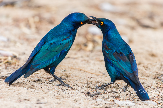 Cape Glossy Starling feeding chick by wildlife and conservation photographer Peter Chadwick