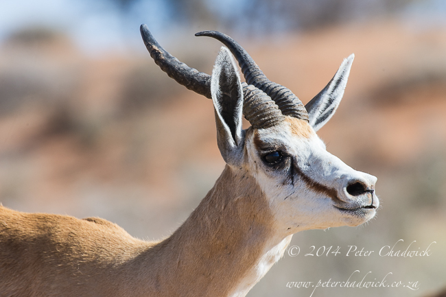 Springbok ram snorting by wildlife and conservation photographer Peter Chadwick PIC3505