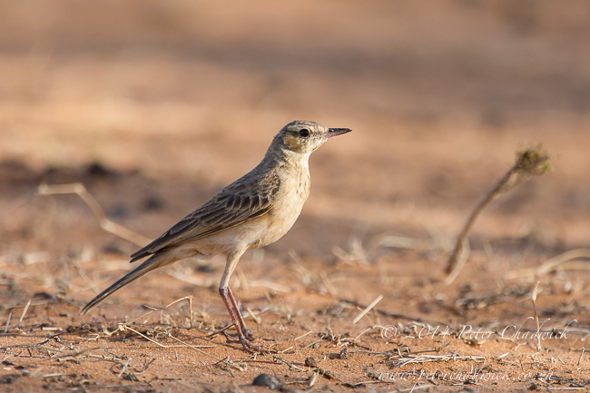 African pipit by wildlife and conservation photographer Peter Chadwick