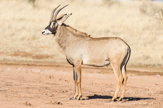 Roan Antelope by wildlife and conservation photographer Peter Chadwick