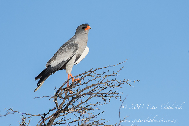 Southern Pale Chanting Goshawk by wildlife and conservation photographer Peter Chadwick