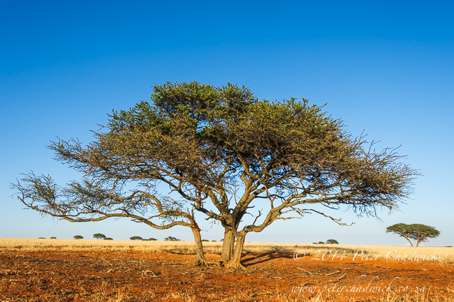 Camel Thorn acacia by wildlife and conservation photographer Peter Chadwick