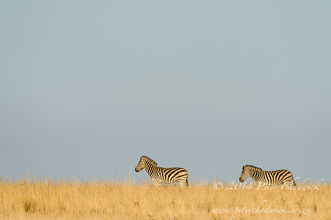 Burchells zebra and rolling grassland by wildlife and conservation photographer Peter Chadwick