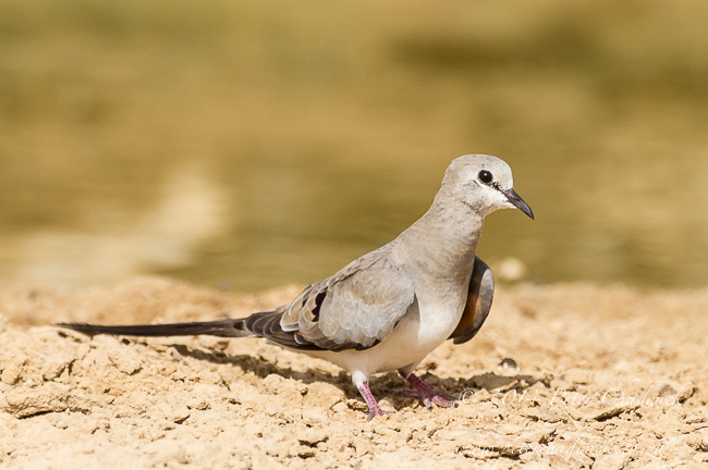 Female Namaqua Dove by wildlife and conservation photographer Peter Chadwick