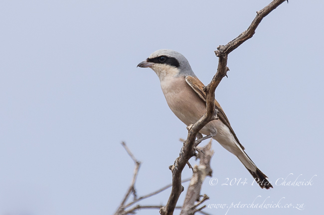 Red-Backed Shrike by wildlife and conservation photographer Peter Chadwick