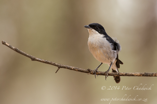 Fiscal Flycatcher by wildlife and conservation photographer Peter Chadwick