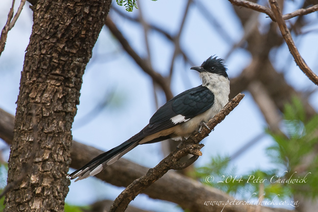 Jacobins Cuckoo by wildlife and conservation photographer Peter Chadwick