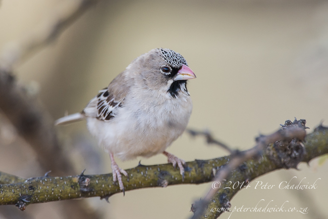 Scaly-Feathered Finch by wildlife and conservation photographer Peter Chadwick