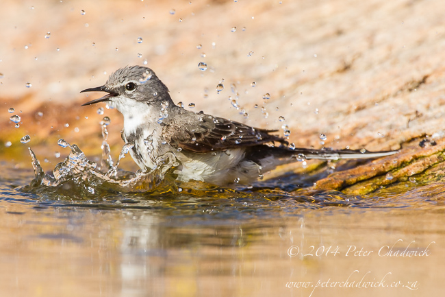 bathing cape wagtail by wildlife and conservation photographer Peter Chadwick