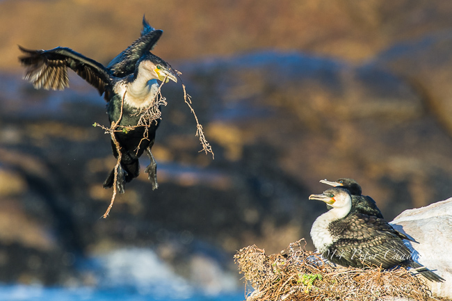 nesting white breasted cormorant by wildlife and conservation photographer Peter Chadwick