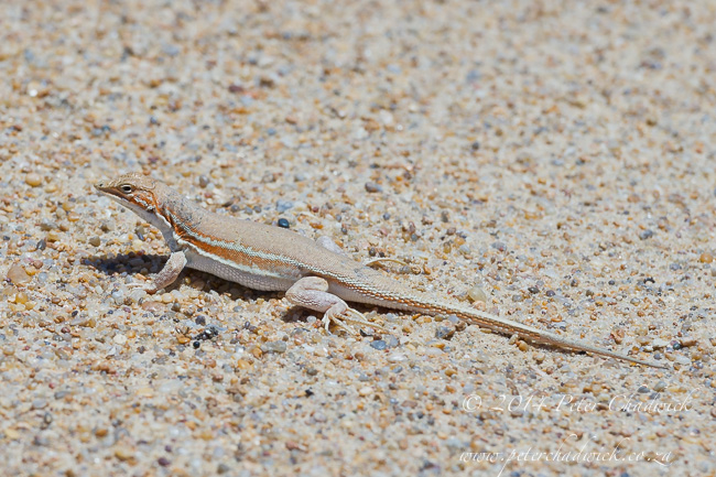 Knoxs desert lizard by wildlife and conservation photographer Peter Chadwick