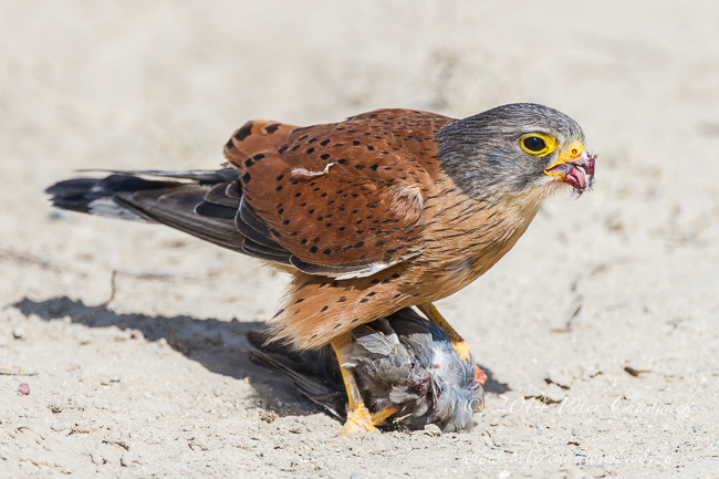 rock kestrel by wildlife and conservation photographer Peter Chadwick