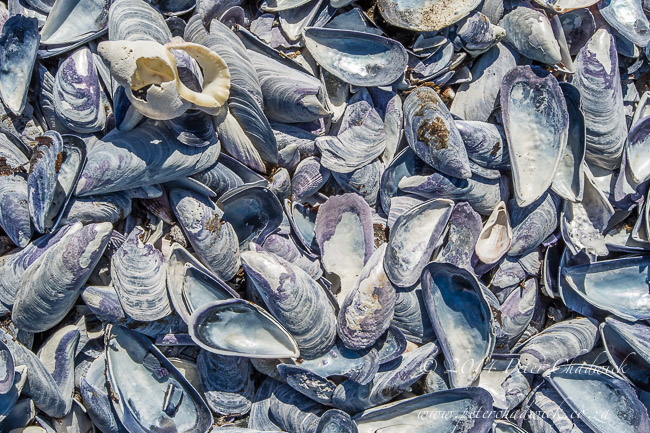 bleached mussel shells washed ashore by wildlife and conservation photographer Peter Chadwick