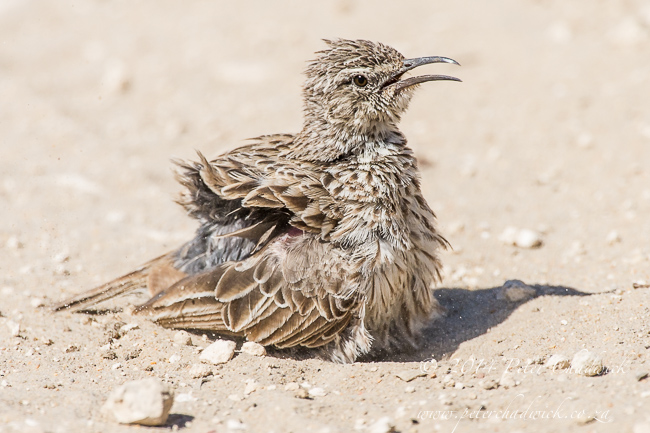 Cape Long-Billed Lark by wildlife and conservation photographer Peter Chadwick