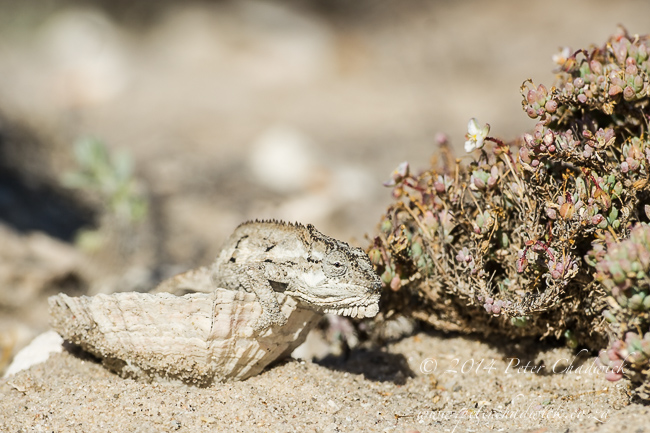 Namaqua dwarf chameleon by wildlife and conservation photographer Peter Chadwick
