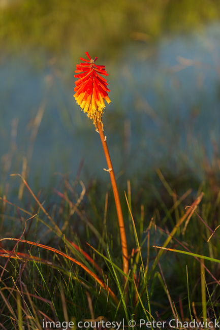 Red Hot Poker by wildlife and conservation photographer Peter Chadwick
