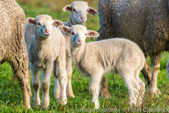 New born lambs by wildlife and conservation photographer Peter Chadwick