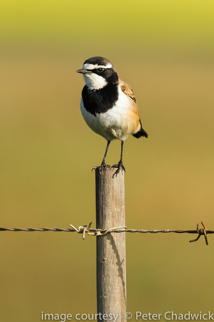 Capped Wheatear on fence post by wildlife and conservation photographer Peter Chadwick