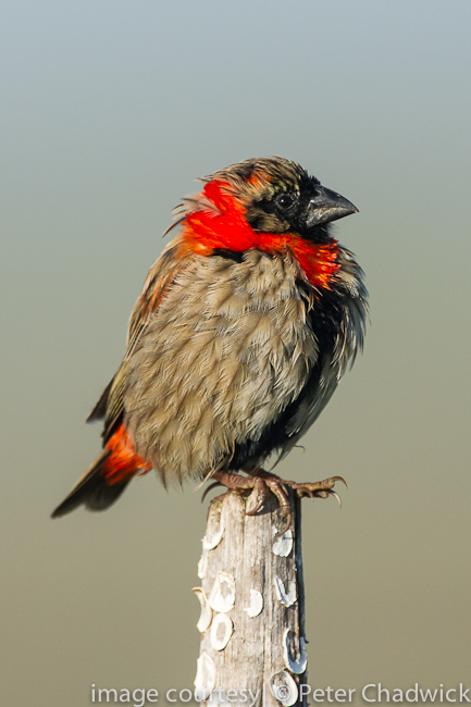 Southern Red Bishop by wildlife and conservation photographer Peter Chadwick