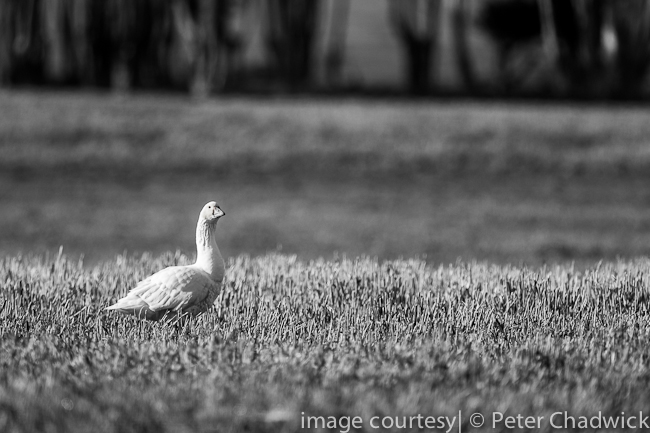Goose in wheat field by wildlife and conservation photographer Peter Chadwick