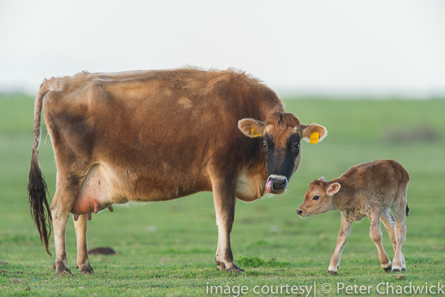 New born calf by wildlife and conservation photographer Peter Chadwick