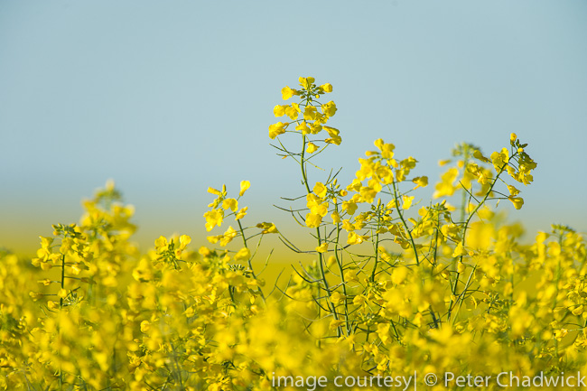 Canola wildlife and conservation photographer Peter Chadwick