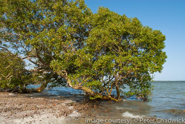 mida creek mangrove by wildlife and conservation photographer peter chadwick