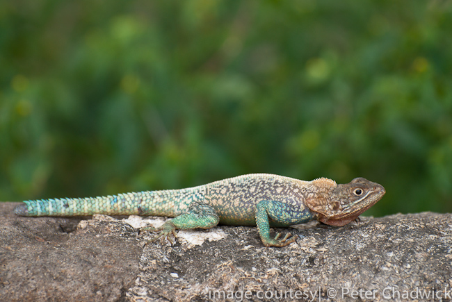 malindi agama by wildlife and conservation photographer peter chadwick