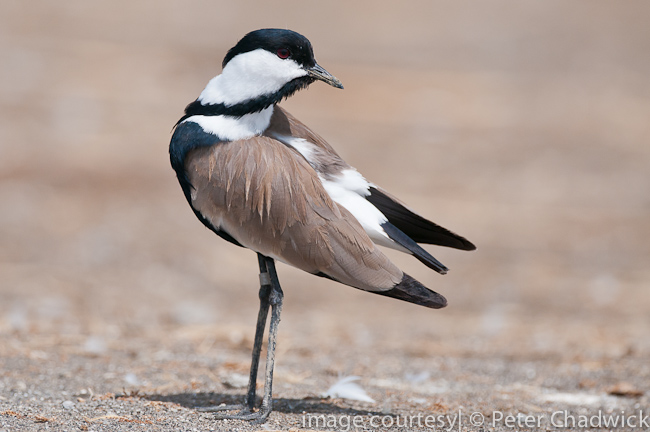 spur-winged plover by wildlife and conservation photographer peter chadwick
