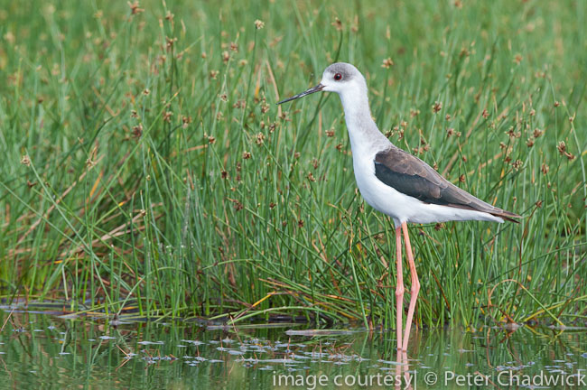 Black-winged Stilt by wildlife and conservation photographer peter chadwick