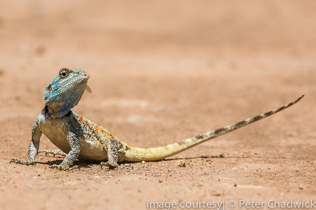 tree agama with flying ant by wildlife and conservation photographer peter chadwick