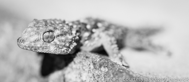 bibrons gecko by wildlife and conservation photographer peter chadwick