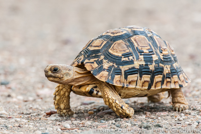 leopard tortoise by wildlife and conservation photographer peter chadwick